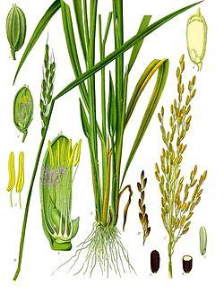 Oryza_sativa_-_Köhler–s_Medizinal-Pflanzen-232