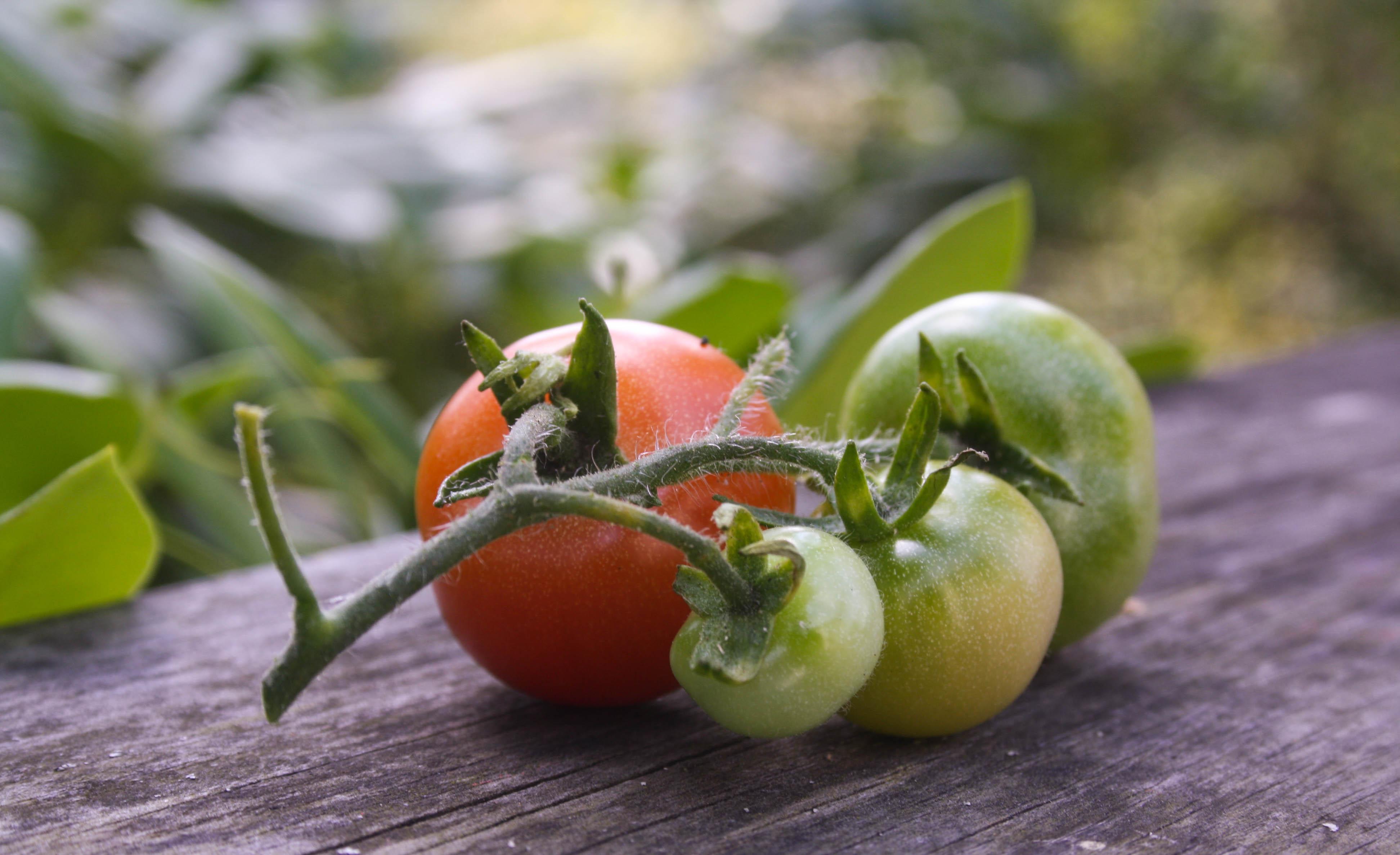Röda & gröna tomater